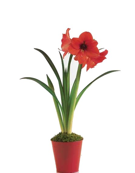 Amaryllis plant for Planter des amaryllis